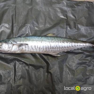 Agriculture Advert: frozen Frozen Mackerel image in the Advert list