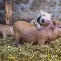 Pork from manufacturer