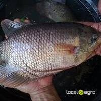Frozen Black Tilapia Whole
