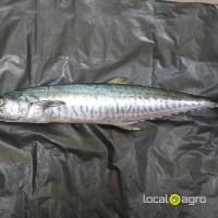 frozen Frozen Mackerel