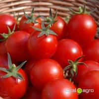 High quality farm fresh tomato