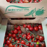 Tomatoes branch (plum) Russia Stavropol