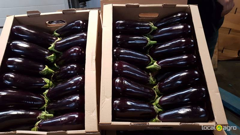 Eggplants from Russia