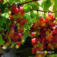 fresh red green pupple Grapes