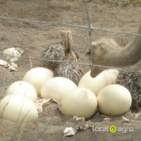 Ostrich ,Emu Chicks and Fertil